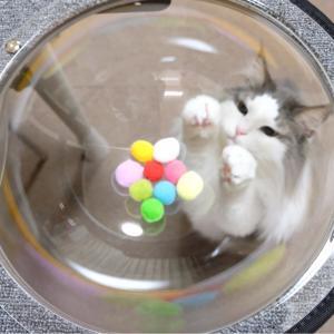 疑り深い猫 ノルウェージャン