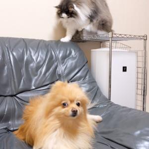 アダルトポメラニアンとカッコ良過ぎる猫のポーズ