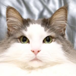 可愛い猫 ノルウェージャンフォレストキャット