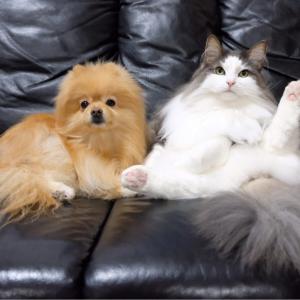 尻尾ブラッシング拒否の猫とポメラニアン