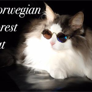 猫の日 令和2年2月22日ノルウェージャンフォレスト紹介