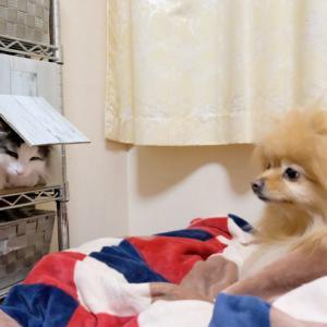 ポメラニアンも驚く猫のおサボりパトロール