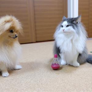 猫に頭を使わせるポメラニアン