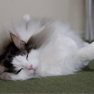 猫とポメラニアンがドンドン似てくる