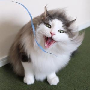 毎年恒例の猫が大好きな扇風機を使った遊び