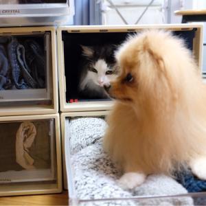 【4】ポメラニアンに助けを求める自作自演の猫