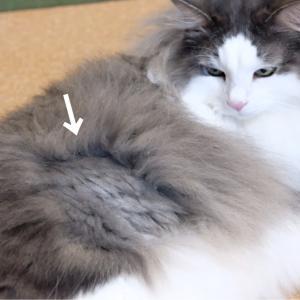 長毛ポメラニアンと猫の足裏バリカン