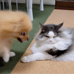 ポメラニアンと闘う猫