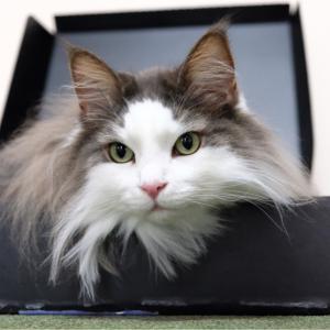 猫にイジワルするポメラニアン