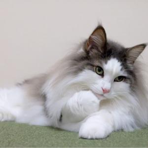 女子力高い猫と低いポメラニアン