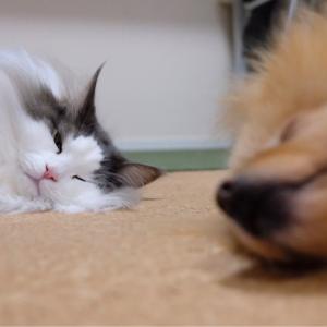 野生では生きていけないポメラニアンと猫