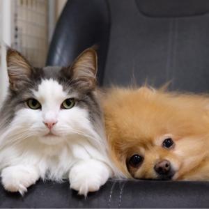猫の横でおきたポメラニアンの異変が可愛過ぎる件