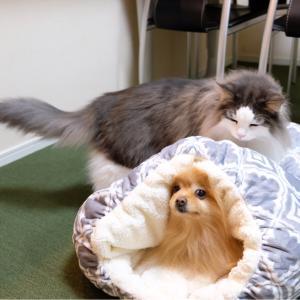 猫を本気で怒らせたポメラニアンの結末