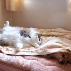 寝てる犬に嫌がらせする猫