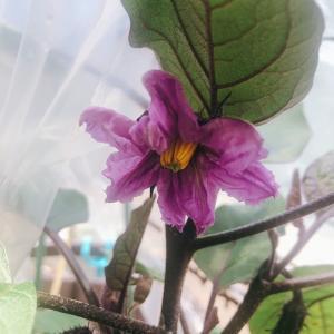 茄子の花が咲いた♡今後のアメンバー申請について☆*:.。. o