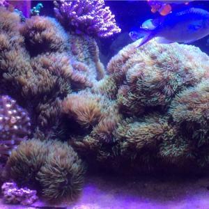 水槽の景色を一気に変えるためにデッカいサンゴをぶち込みました