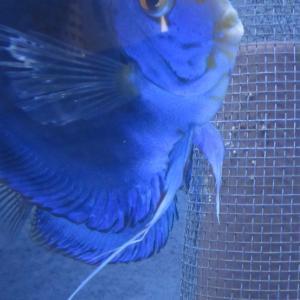 4/19 BV7R稚魚孵化! & ♂♀喧嘩対策