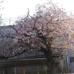 松前八重桜 & 初?産卵 & INポイント付かずトラブル中