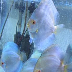 WB22ブラッド若魚