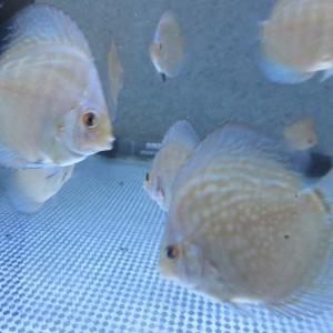 ディスカス BV7R幼魚の淡い色
