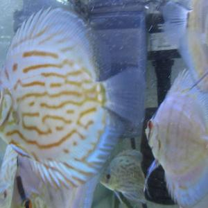 次期種親候補 2種 (幼魚/若魚)