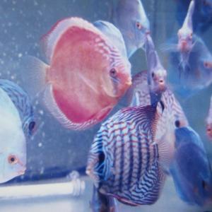 赤系、原種系 飼育魚