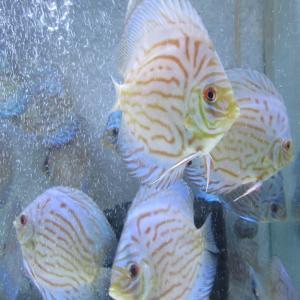 早速若魚水槽食欲UP & 暫定水槽OJWSペア産卵
