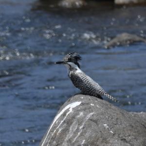 初夏の渓流にて・・・ヤマセミ