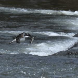 初夏の堰にて・・・ヤマセミ、アオサギ、キアシシギ