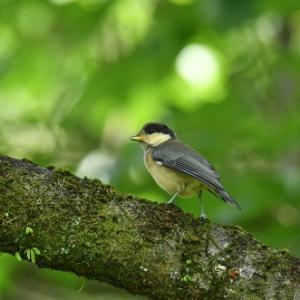 巣立ちの時季・・・ヤマガラの幼鳥