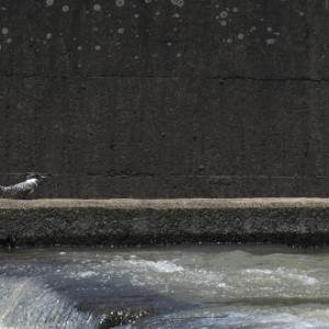 堰の流れで、餌捕りを・・・ヤマセミ