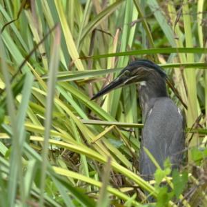 水草の中から、餌を求めて・・・ササゴイ