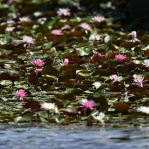 睡蓮の池にて・・・睡蓮の花、トンボ、アオサギ