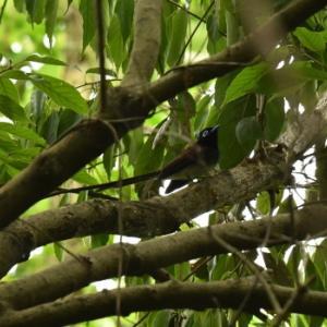 念願の野鳥に、やっと・・・サンコウチョウ