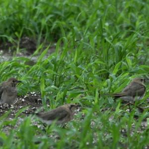 草地で突然に・・・ツバメチドリ