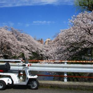 花見キャンプは今年も墓の木でスタート