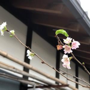 冬桜、、と。