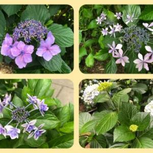 梅雨時の花? 盛夏の花?