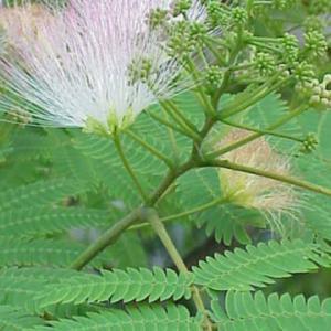 夜になると葉を閉じる・・・合歓の木・・・愛しい花ですね!!