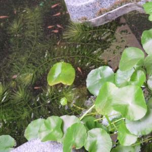 7月生まれのメダカが成長中ですよ~!!自宅のひょうたん池で・・・