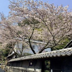 牧野公園の桜
