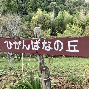 みろく自然公園 黄色い彼岸花