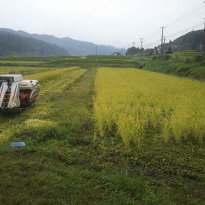 稲刈り中断と今年の収量見込み