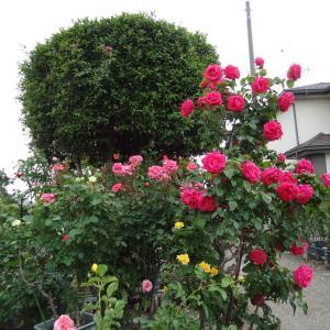 薔薇を見てきました