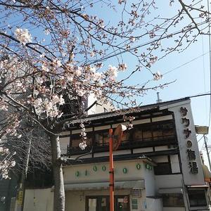 2020年京都の桜