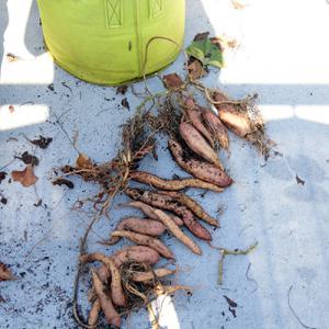 自宅の屋上で芋を掘る。