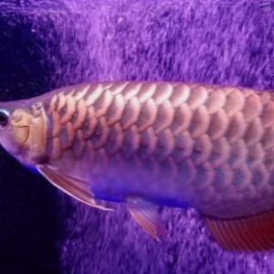 愛魚の画像