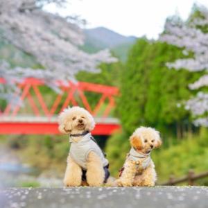 桜散歩で『 焦った 』出来事。