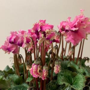 シクラメン 8号鉢は1鉢に3株程度植えられている