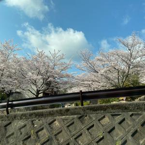 イタグレ 有馬の桜